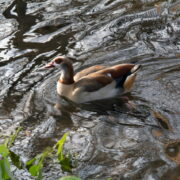 Egyptian Goose Swimming – Tansy Webber